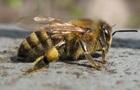 Тисячі бджіл потонули у власному меді після ДТП у Франції