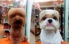 Морда кирпичом : собачники в Тайване создали необычную моду на стрижки
