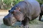 В возрасте 58 лет умер старейший бегемот в Северной Америке