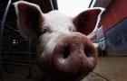 Китайские генетики вывели свиней- бодибилдеров