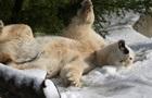 Экологи предупреждают о полном исчезновении белых медведей к 2025 году