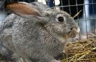 Россия и Китай начнут совместно разводить кроликов