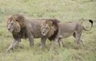 У Ботсвані п ять левиць-лесбійок відростили гриву