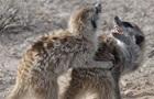 Самки сурикатів виявилися справжніми тестостероновими  мачо