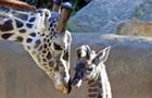Вчені стурбовані різким зниженням популяції жирафів у світі