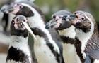 У канадському зоопарку розслідують смерть семи пінгвінів