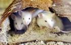 В Австралии под угрозой урожай из-за нашествия мышей
