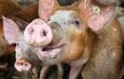 В России истребили более 230 тысяч свиней