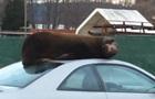 Морской лев решил вздремнуть на крыше авто