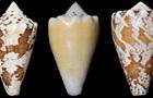 Ученые нашли замену морфию в яде морских улиток