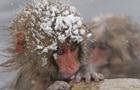 В японском зоопарке усыпили 57 макак из-за  чужеродных  генов