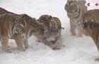 В Китае толстые тигры сбили беспилотник