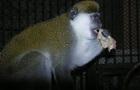 В Харькове обезьяны отметили Масленицу