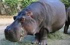 У зоопарку Сальвадора вбили єдиного бегемота в країні