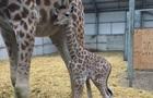 У зоопарку Британії народилося дитинча рідкісного виду жирафів