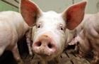 Чума свиней добралась до Сибири
