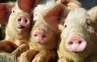 У чотирьох областях зафіксовано нові спалахи чуми свиней