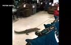 В США аллигатора протащили на привязи по магазину