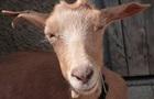 У школах Зімбабве можна буде заплатити за навчання козами