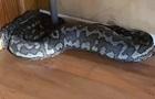 Величезна змія провалила стелю і потрапила у будинок