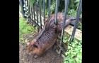 У Канаді врятували товстого бобра, що застряг у паркані