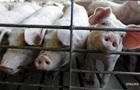 В Киевской области зафиксировали чуму свиней