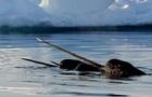 Полювання  морського єдинорога  вдалося зняти на відео