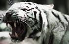 В Великобритании тигр растерзал смотрительницу зоопарка