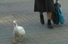 В Харькове женщина выгуливает гуся на поводке: фотофакт