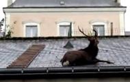Во Франции оленя сняли с крыши гаража