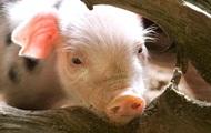 Россия вслед за Беларусью запретила поставки свинины из Луганской области