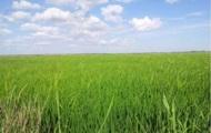 В Крыму из-за нехватки воды погиб весь посев риса