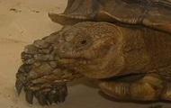 Огромная черепаха устроила пробку во Флориде