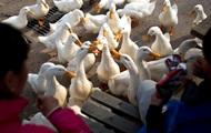 В России впервые за четыре года зафиксированы случаи птичьего гриппа