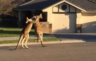 Драка кенгуру посреди улицы взорвала YouTube