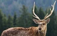 В России арестовали 50 оленей