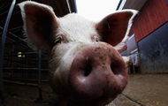 """Китайские генетики вывели свиней-""""бодибилдеров"""""""