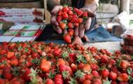 Россияне уничтожат 12 тонн клубники из Украины
