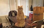 Кіт, який стоїть на задніх лапах,  став зіркою Instagram