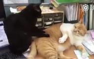 Котячий масаж став хітом соцмереж