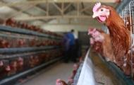 ЕС запретил импорт птицы из Украины из-за гриппа