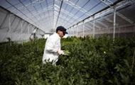 В Голландии хотят узаконить выращивание марихуаны