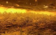 У бомбосховищі в Британії знайшли плантацію марихуани