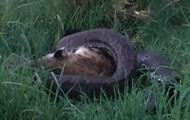 Hyæne spiser Python filmet