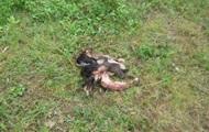В Луцке останки телят нашли прямо на оживленной улице