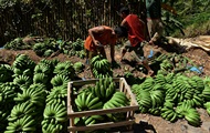 В ООН попередили про загрозу бананової катастрофи