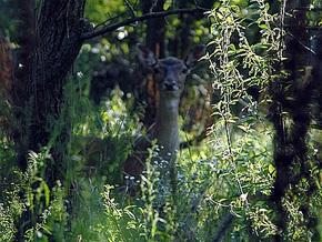 На территории резиденции Януковича обитают олени, павлины и кенгуру
