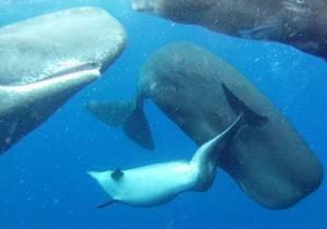 В стае кашалотов обнаружили дельфина-инвалида