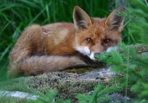 В Норвегии лиса украла у подростка iPhone и отправила смс-сообщение