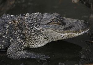 В США полиция конфисковала у торговца марихуаной больного крокодила